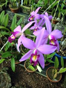 Hybrid orchids